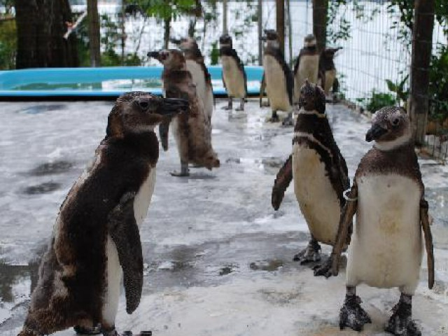 Em pleno verão, pingüins continuam chegando ao litoral brasileiro