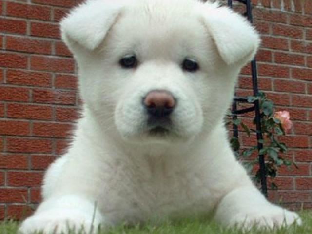 Cresce incidência de doenças genéticas em cães