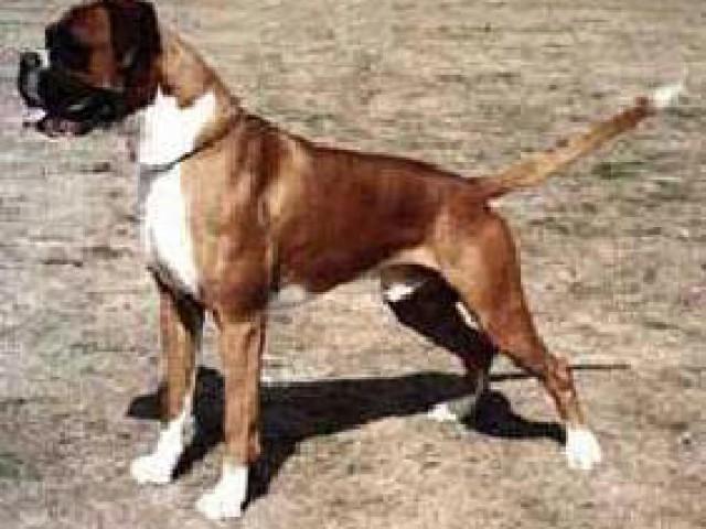 Corde de cauda em cães: por que não fazer?