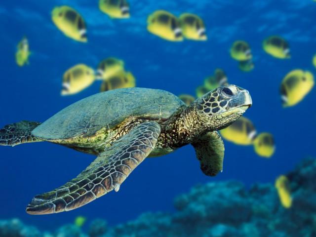 Evento de soltura da tartaruga de número 10 mil será realizado na Praia do Cruzeiro , em Ubatuba (SP)