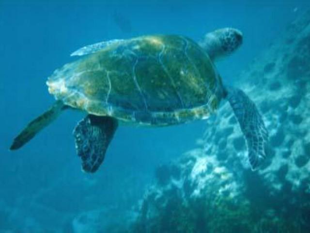 Começa a temporada de chegadas das tartarugas marinhas em Puerto Vallarta